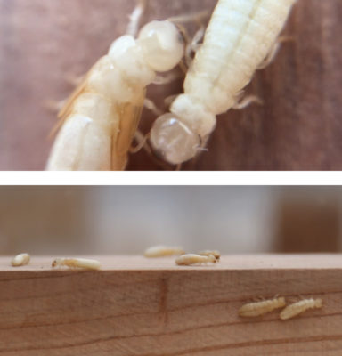 従来のシロアリと外来種の驚異